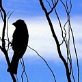 Finch Silhouette 2 by Will Borden