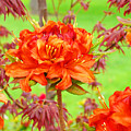 Fine Art Floral Art Prints Canvas Orange Rhodies Baslee Troutman by Baslee Troutman