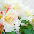 Fine Art Florals Prints White Pink Rhodies Rhododendrons Baslee Troutman by Baslee Troutman
