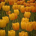 Fine Lines In Yellow Tulips by Michael Flood