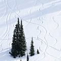 Fir And Snow by Greg Vaughn - Printscapes
