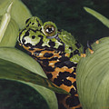 Fire Belly Toad by Elizabeth Rieke Hefley