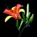 Fire Lily 2 by Rebecca Morgan