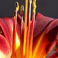 Fire Lily by Amy Fose