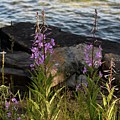 Fire Weed Looking At Lake Superior by Hella Buchheim
