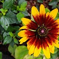 Firecracker Sunflower by Mesa Teresita