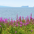 Fireweed Flowers Against The Perce Rock by Les Palenik