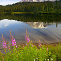 Fireweed Reflections by Mike  Dawson