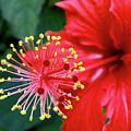 Fireworks - Hibiscus by Kaye Menner