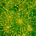 Fireworks Of Dill Flowers by Butter Milk