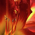 Firey Lily by Sabrina L Ryan