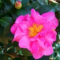 Firey Pink Camelia by Laurie Paci
