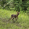 First Baby Fawn Of The Year by Bobbie Moller