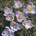 First Crocuses Of Spring 2015 by Jacob O'Neill