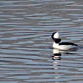First Day Of Spring Bufflehead2 by Christopher Plummer