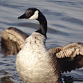 First Day Of Spring Goose by Christopher Plummer