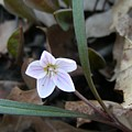 First Flower Of Spring by Peter  McIntosh