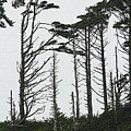 First Line Trees Along The Pacific Ocean by Tom Janca