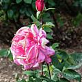 First Prize Rose Hybrid Tea by Robert Briggs