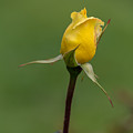 First Rose Of Spring by Beverly Tabet