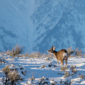 First Rut Mule Deer Buck by Yeates Photography