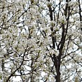 First Spring Blossom by Linda Benoit