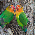 Fischers Lovebird Agapornis Fischeri by Panoramic Images