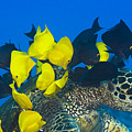 Fish Cleaning Turtle by Dave Fleetham - Printscapes