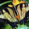 Fish Eye Butterfly by Patti Whitten