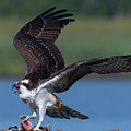 Fish For The Osprey by Cindy Lark Hartman