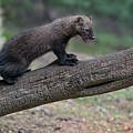 Fisher Out On Limb by Dan Friend