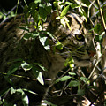 Fishing Cat by Anthony Jones