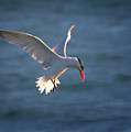 Fishing Tern by Albert Seger
