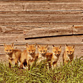 Five Fox Kits By Old Saskatchewan Granary by Mark Duffy
