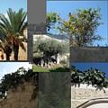 Five Fruit Of Israel by Menucha Citron