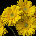 Five Gerbera Daisies by Garry Gay