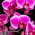 Five Orchids  by Michael Knight