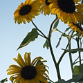 Five Sunflowers To The Sky by Anna Lisa Yoder