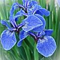 Flag Iris Blues by MTBobbins Photography