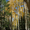 Flagstaff Aspen 796 by Mary Dove
