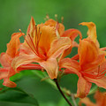 Flame Azalea  by Alan Lenk