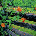 Flame Azalea And Fence by Rich Walter