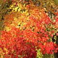 Fall A Flaming 2 Autumn Leaf Color Art by Reid Callaway
