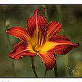 Flaming Lily by Connie Mitchell