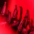Flaming Poppy Detail by Mo Barton