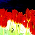 Flaming Red Tulips by Will Borden