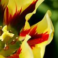 Flaming Tulip by Sue Harper