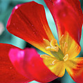 Flaming Tulip by Susie Weaver