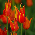 Flaming Tulips by Jeffery L Bowers