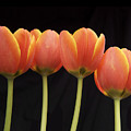 Flaming Tulips by Michael Peychich